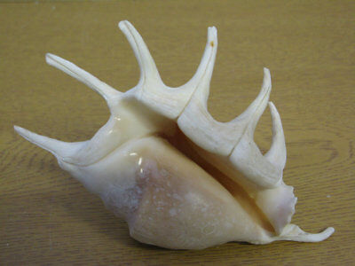 Large Lambis Spider Or Scorpion Shell