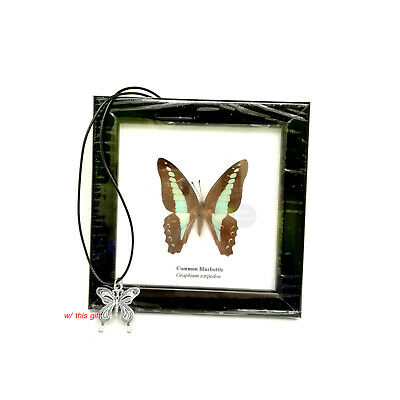 Real Common Bluebottle Butterfly Insect Taxidermy Mounted 5x5 Framed Display