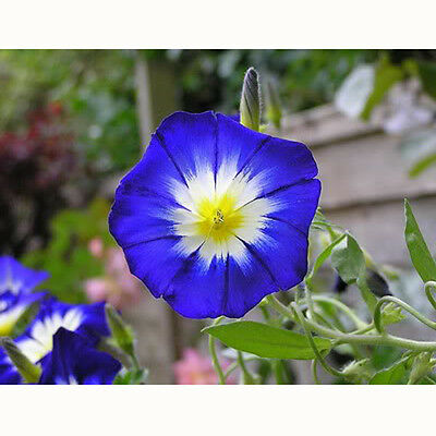"MTN ""Convolvulus"" mix color Flower 30 seeds DIY"