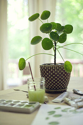1 Pilea Peperomioides Plant ~Chinese Money Plant ~Rare & Cute~镜面草
