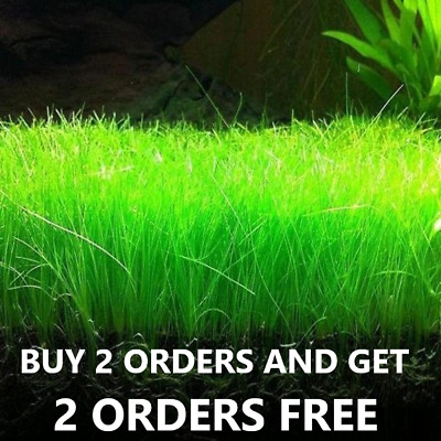 Dwarf Hairgrass Eleocharis Parvula Aquarium Plants live buy 2 get  *2*  Free