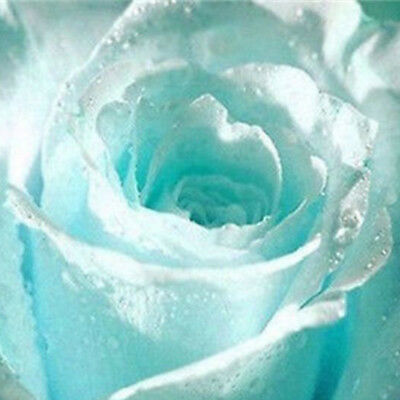 Light Blue Obesum 55 Flower Rose Mixed Varieties Seeds Minimum Garden Romantic
