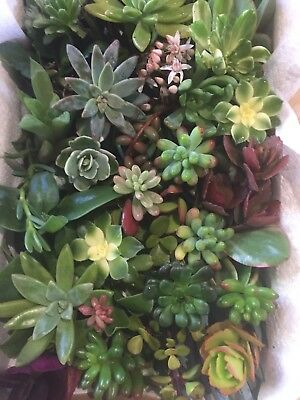 40xMixed Succulents Cuttings For $40 All From Different Plants Read Description