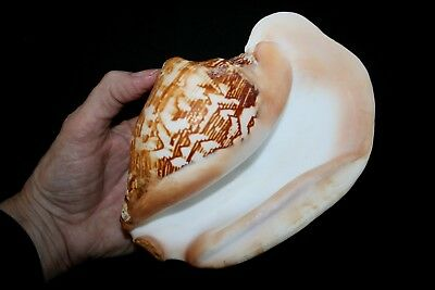 LARGE 'Wide' Pacific Conch seashell (A)