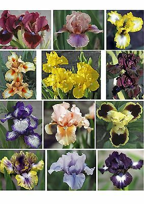 DWARF BEARDED IRIS - Collection of 5 different colours and patterns. Gorgeous!