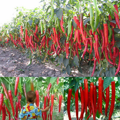 200seeds Giant Red Spices Spicy Chili Pepper 200 semillas Long guindilla