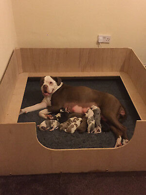 """WHELPING BOX 36"""" X 36"""" X 14"""". Removable shelves. Reusable. Boxed ready to send"""