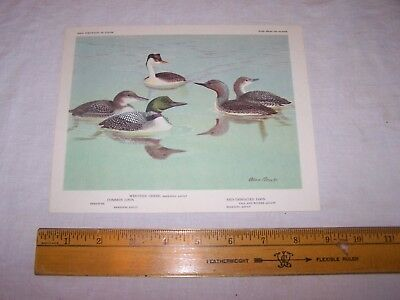 Vintage Bird Print - WESTERN GREBE - RED-THROATED & COMMON LOON - Allan Brooks