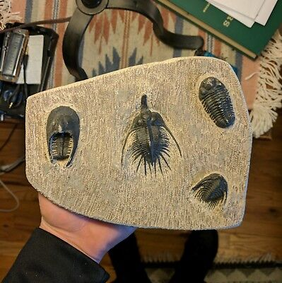 Trilobite Cast from Morocco, 4-way combo