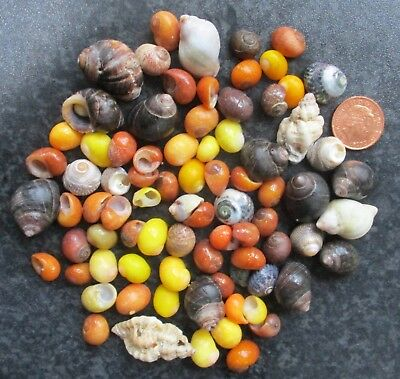 TINY MIXED SEASHELLS Small Sea Shells Arts & Craft Wedding Decoration Display