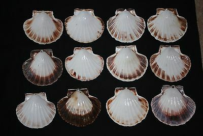12  SCALLOP seashells for COOKING