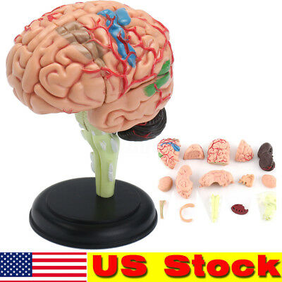 Brain Model Learning Resources Human Anatomy Medical Student Realistic Stand USA