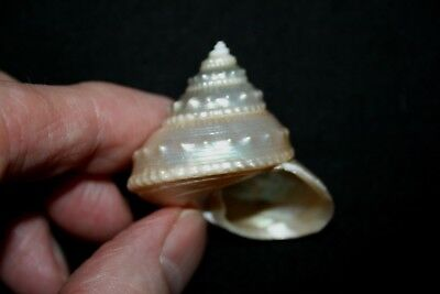Pearly 'SilverTop' seashell