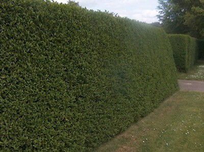 10 Green Privet Hedging Plants 2 Years Old 80 100cm Collection Only
