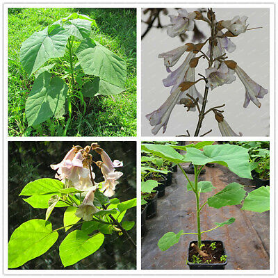 New Paulownia Elongata Seeds Forest Tree Seeds Fast Growing Tree Plant Garden