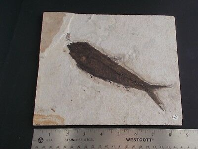 a      FOSSIL fish- LARGE KNIGHTIA--Kemmerer Wyoming- fish @ 7""