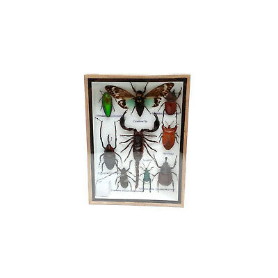 Real Cicada Scorpion Insect Taxidermy Entomology Display Wood Framed Bug Mix Box