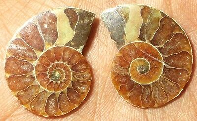 30Cts. Natural Ammonite Fossil Nice Matched Cabochon Pair Gemstone 1462