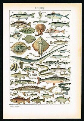 1922 Antique Print - Fishes, Shark, Salmon, Sea Horse, Lithograph - Larousse