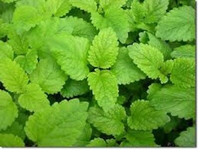MELISSA 100 % PURE LEMON BALM ESSENTIAL OIL. Undiluted up to 16oz.5-10% off