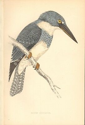 1865 ca - ANTIQUE ORNITHOLOGICAL PRINT- BELTED KINGFISHER