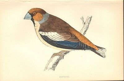 1865 ca - ANTIQUE ORNITHOLOGICAL PRINT- HAWFINCH