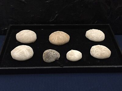 Starfish Fossil Urchin Lot And More