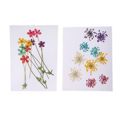 20pcs Pressed Dried Flower Water Lily Lotus/Ammi Majus for Phone Case Decor