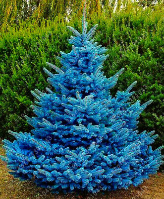 Blue Spruce Trees Bonsai Blue Spruce Seeds Picea Pungens Seeds Evergreen Tree