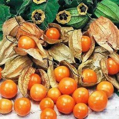 Cape Gooseberry - GIANT - Physalis peruviana - 50 seeds