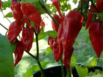 100 seeds Bhut jolokia, ghost pepper, ghost chili, U-morok, red naga, naga