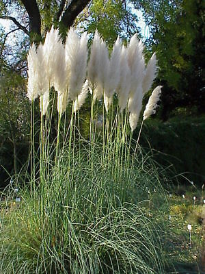 300 seeds cortaderia selloana, Pampas grass//white feather