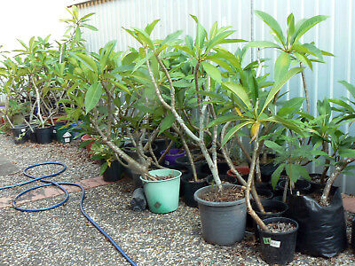 10 Potted Frangipani Plants for $50 Bulk Lot Plumeria Tree 40+ to choose from