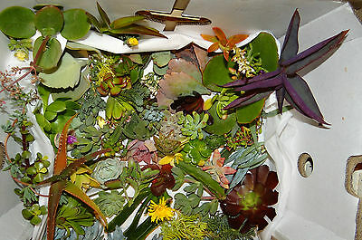 SUCCULENTS  80 very cheap succulent plant cuttings - all different! SMALL