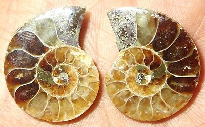 38Cts. Natural Ammonite Fossil Match Split Pair Cabochon Loose Gemstone 1446