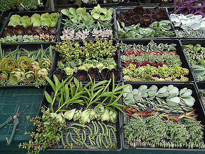 Wedding SUCCULENT cuttings for bonbonniere or gifts 50 cuttings plus 50 pots