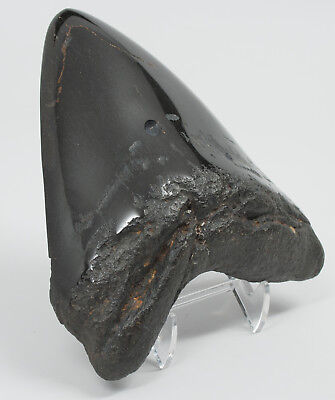 "Megalodon Fossil Shark Tooth 5.124"" Diamond Polished 1.3 POUNDS Massive Beast"
