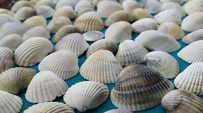 80g Sea Shells Beach Beads Wedding Decoration Clam Craft SeaShells