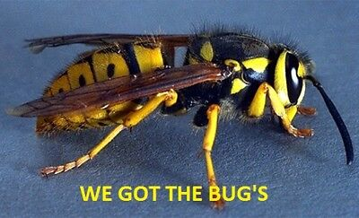7  REAL  YELLOW JACKET WASP V Pensylanica  DRYED SPECIMEN INSECT TAXIDERMY !!