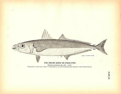 Rare 1884 Antique Fish Print ~ The Interesting Collection Lot of 4 prints Cigar
