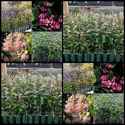 8 Lilly Pilly Acmena smithii Fast Hedging Native Garden Plants Screen Lily trees