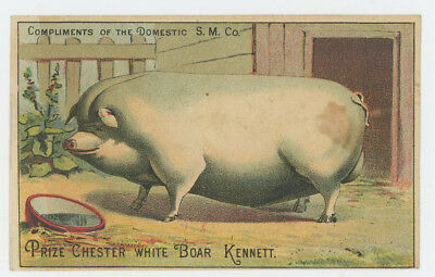 Fattened Prize Chester White Boar Lots of Bacon Farming Agricultural Trade Card