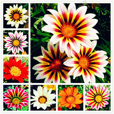 100pcs/bag Gazania rigens seeds, Flower Seeds For home garden, bonsai plant