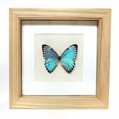 Framed Real Blue Morpho Butterfly Insects Animal Bones Taxidermy Oddities  Art
