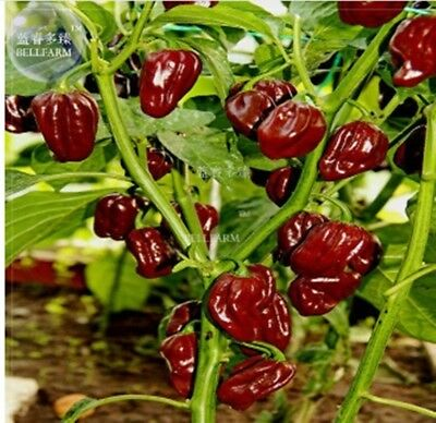 Hot Pepper Habanero Chocolate Vegetable Organic Home Garden Vegetables  30 pcs