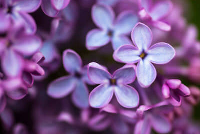 LILAC - Syringa-  Essential Oil 100% Pure&Natural. UNCUT OR DILUTED. 5-10% OFF!
