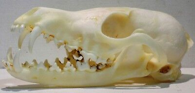Red Fox Skull taxidermy real bone skeleton 1