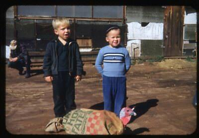 Color Slide Photo, Boys at Turkey Farm w Thanksgiving Dinner-to-Be in Sack 1952