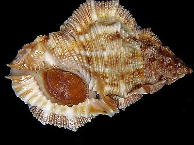 Bufonaria Margaritula: Currently The Largest On Ebay @ 46.16Mm-With Operc!