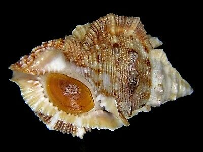 Bufonaria Margaritula: Currently The Largest On Ebay @ 46.14Mm-With Operc!